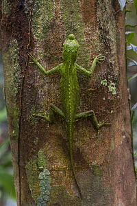 Hump-nosed or lyreshead lizard (Lyriocephalus scutatus),Sinharaja Forest Reserve, Unesco Biosphere Reserve and World Heritage Site, Sri Lanka. Endemic. - Duncan Murrell