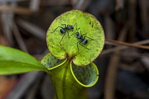 Worker ants (Polyrhachis sp.) on a pitcher plant (Nepenthes gracilis) in the Sabangau (peat-swamp) Forest, Central Kalimantan, Indonesia.  -  Duncan Murrell