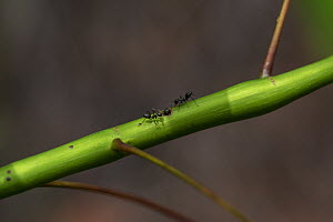 Ants with symbiotic relationship with Mahang bitik (Macaranga maingaiyi), Sabangau (peat-swamp) Forest, Kalimantan, Indonesia.Ants live inside its hollow stem. In return, these ants kill and eat other...  -  Duncan Murrell