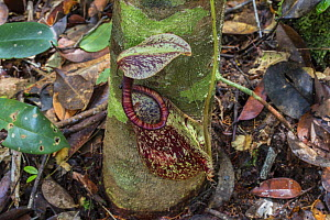 Raffles' pitcher-plant (Nepenthes rafflesiana) in the Sabangau (peat-swamp) Forest, Central Kalimantan, Indonesia.  -  Duncan Murrell