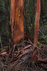 Bark of Balawan bahandang tree (Tristaniopsis maingayai), Sabangau (peat-swamp) Forest, Kalimantan, Indonesia. This tree is important for medical uses and religious meaning for the local Dayak people.  -  Duncan Murrell