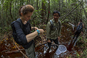 Local field staff and foreign intern with the Borneo Nature Foundation conducting a dragonfly survey in the Sabangau (peat-swamp) Forest, Central Kalimantan, Indonesia.  -  Duncan Murrell