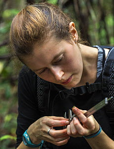 Foreign intern with the Borneo Nature Foundation measuring a dragonfly during a dragonfly survey in the Sabangau (peat-swamp) Forest, Central Kalimantan, Indonesia.  -  Duncan Murrell