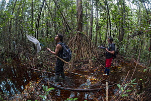 Local field staff of the Borneo Nature Foundation conducting a dragonfly survey in the Sabangau (peat-swamp) Forest, Central Kalimantan, Indonesia.  -  Duncan Murrell