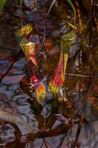 Pitcher plant (Nepenthes gracilis) in the Sabangau (peat-swamp) Forest, Central Kalimantan, Indonesia.  -  Duncan Murrell