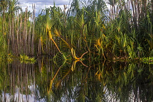 Pandan (Pandanus sp.) growing in the Sabangau River, Central Kalimantan, Indonesia.  -  Duncan Murrell