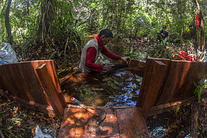 Local field staff of the Borneo Nature Foundation constructing dams in the canals in the Sabangau (peat-swamp) Forest, to prevent drying out that increases the risk of forest fires. Central Kalimantan...  -  Duncan Murrell