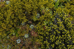 Subalpine vegetation along the trail to the Top Maropea Hut in the Ruahine Range, North Island, New Zealand.  -  Duncan Murrell