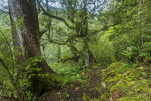 Beech trees on a trail in the Ruahine Forest Park, the Ruahine Range, North Island, New Zealand.  -  Duncan Murrell