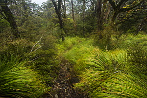 Beech forest near the Top Maropea Hut in the Ruahine Range, North Island, New Zealand.  -  Duncan Murrell