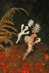 Ornate ghost pipefish (Solenostomus paradoxus), pair feeding near sea floor. Gravid female at front, male behind. Flores Sea, Indonesia.  -  Pascal Kobeh