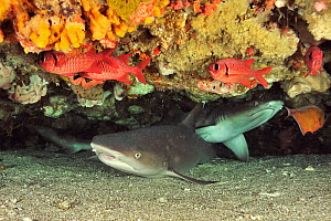 White tip shark (Triaenodon obesus), two lying underneath ledge of coral reef. Flores Sea, Indonesia.  -  Pascal Kobeh