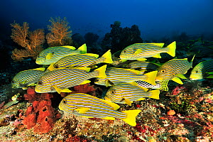 Ribboned sweetlips (Plectorhinchus polytaenia) shoal and Yellowbanded sweetlips (Plectorhinchus lineatus) over coral reef. Flores Sea, Indonesia.  -  Pascal Kobeh
