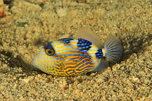 Blue triggerfish (Pseudobalistes fuscus) resting in sand on sea floor. Flores Sea, Indonesia.  -  Pascal Kobeh