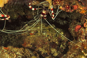 Reef stonefish (Synanceia verrucosa) camouflaged in reef with Banded coral shrimp (Stenopus hispidus). Flores Sea, Indonesia. - Pascal Kobeh