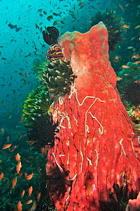 Barrel sponge (Xestospongia testudinaria) covered with Lampert's sea cucumbers (Synaptula lamperti). Crinoids and Feather stars (Crinozoa) also on Sponge. Jewel fairy basslets (Pseudanthias squami...  -  Pascal Kobeh