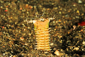Bobbit worm (Eunice aphroditois) in sand on sea floor, at night. Flores Sea, Indonesia.  -  Pascal Kobeh