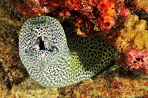 Black-spotted moray (Gymnothorax isingteena) with open mouth. Moheli, Comoros.  -  Pascal Kobeh