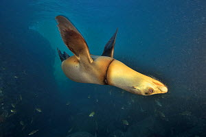 California sea lion (Zalophus californianus) upside down, wounded by a fishing line wrapped around neck. Baja California, Mexico. - Pascal Kobeh