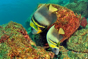 Cortez angelfish (Pomacanthus zonipectus), two on reef. Baja California, Mexico. - Pascal Kobeh