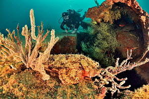 Pacific spotted scorpionfish (Scorpaena mystes) camouflaged on reef of Salvatierra shipwreck. Diver exploring in background. Baja California, Mexico.  -  Pascal Kobeh