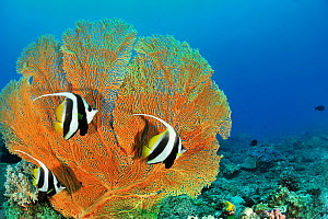 Longfin bannerfish (Heniochus acuminatus), three in front of Giant seafan / gorgonian (Annella mollis). Indian Ocean, Madagascar. - Pascal Kobeh