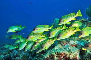 Indian Ocean - Madagascar - Blackspotted sweetlips (Plectorhinchus gaterinus) shoal over reef. Indian Ocean, Madagascar.  -  Pascal Kobeh