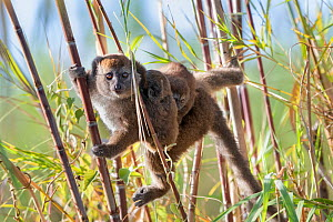Lac Alaotra bamboo lemur (Hapalemur alaotrensis) carrying young, Lake Alaotra, Madagascar, Criticaly endangerd species. - Bernard Castelein