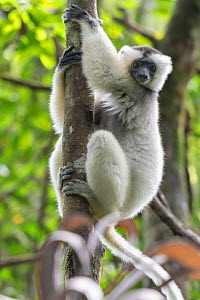 Silky sifaka (Propithecus candidus) in tree, Marojejy National Park, Madagascar. Critically endagered species. - Bernard Castelein