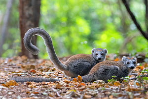 Crowned lemur (Eulemur coronatus) two females on ground in forest, Ankarana NP, Madgascar  -  Bernard Castelein