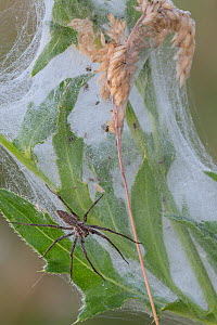 Nursery web spider (Pisaura mirabilis) female guarding spiderlings, Peerdsbos, Brasschaat, Belgium. July - Bernard Castelein