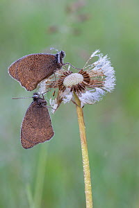 Meadow brown butterfly (Maniola jurtina) on dandelion seedhead, Peerdsbos, Brasschaat, Belgium. June - Bernard Castelein