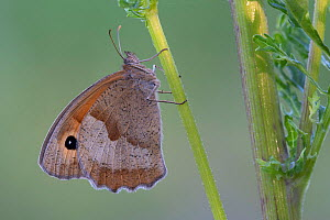 Meadow brown butterfly (Maniola jurtina) Peerdsbos, Brasschaat, Belgium. July - Bernard Castelein