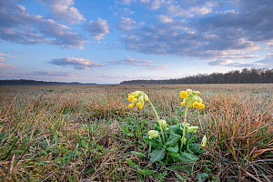 Cowslip (Primula veris) and habitat, Klein Schietveld, Brasschaat, Belgium. March  -  Bernard Castelein