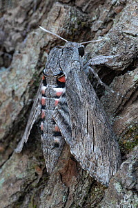 Convolvulus hawk-moth (Agrius convolvuli) resting on tree trunk, Brasschaat, Belgium. August  -  Bernard Castelein
