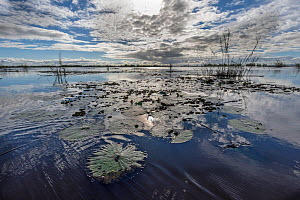 Landscape of Lake Alaotra with waterlily pads, Madagascar May 2019.  -  Bernard Castelein