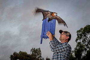 Grey-headed flying-fox (Pteropus poliocephalus) released back into his Melbourne colony by wildlife carer Francois Malherbe. The bat was rescued several months earlier, found hanging low in a fruit tr...  -  Doug Gimesy