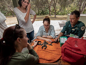 Wildlife rescuers and Parks Victoria officer Stepehen Brend (top right) examine the remains of a dead Grey-headed Flying-foxes (Pteropus poliocephalus) that was recovered in the field during a heat st...  -  Doug Gimesy