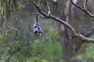 Grey-headed flying-fox (Pteropus poliocephalus) hanging from a Eucalyptus tree using its wings to keep warm and protect its self from the rain. Yarra Bend Park, Kew, Victoria, Australia. - Doug Gimesy