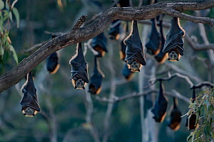 Grey-headed flying-foxes (Pteropus poliocephalus) at a colony hang together at sunset on a branch over the Yarra Bend Park, Kew, Victoria, Australia.  -  Doug Gimesy