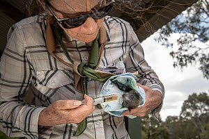 Wildlife bat rescuers Megan Davidson gives a rescued Grey-headed Flying-fox (Pteropus poliocephalus) oral liquids to try and rehydrate it. This was one of many bats rescued at the Melbourne colony dur... - Doug Gimesy