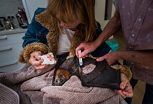 Wildlife bat rescuers, Dr Paul Smith and Beverly Brown, treat a Grey-headed Flying-fox (Pteropus poliocephalus) in their home, whose wind had been torn after being caught in barbed-wire. Black Rock, V...  -  Doug Gimesy