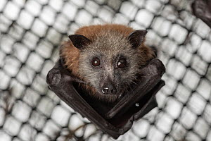 Portrait of a rescued and rehabilitated Grey-headed Flying-foxes (Pteropus poliocephalus) that have just been transported to a 'soft-release' enclosure. Hanging from the roof of its home and l...  -  Doug Gimesy