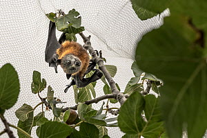 Grey-headed flying-foxes (Pteropus poliocephalus) hanging caught under back yard fruit tree netting. This is wildlife friendly netting so he was released without injury. Victoria, Australia. March.  -  Doug Gimesy