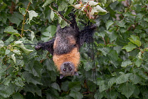 Grey-headed Flying-fox (Pteropus poliocephalus) hanging entangled in urban fruit-tree netting. Despite being rescued, the netting had cut the circulation to its wings for too long and so the bat had t... - Doug Gimesy