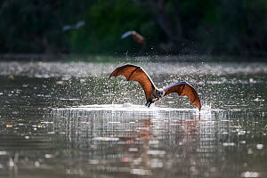 A Grey-headed Flying-fox (Pteropus poliocephalus) in flight just after having taken a flying high speed belly-dip into the Yarra river at the end of a very hot day. They do this to wet their fur which...  -  Doug Gimesy