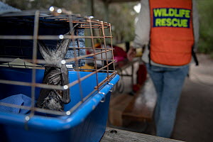 Rescued Grey-headed flying-fox (Pteropus poliocephalus) recovers in a cage in the shade, having been rescued a few minute earlier by wildlife carers during a heat stress event day at the Melbourne col...  -  Doug Gimesy