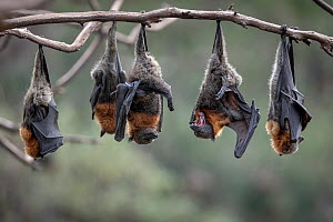 Grey-headed Flying-foxes (Pteropus poliocephalus) at a colony hang together on a branch over the Yarra River, Melbourne. These bats form part of a colony that was established here in early 2000's when...  -  Doug Gimesy