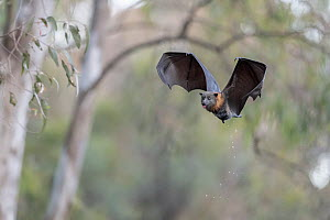 Grey-headed flying-fox (Pteropus poliocephalus) male flying and dripping water off his body, have just belly-dipped into the water to cool off and get a drink. Yarra Bend Park, Kew, Victoria, Australi...  -  Doug Gimesy