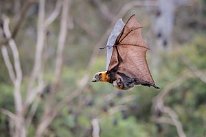 Grey-headed flying foxes (Pteropus poliocephalus) female carrying her pup whilst in flight, Yarra Bend Park, Kew, Victoria, Australia, December. - Doug Gimesy